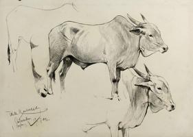 Friedrich Wilhelm Kuhnert: Ceylon-Rinder